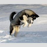 Cute Husky In Snow | 1782 x 1470 jpeg 231kB