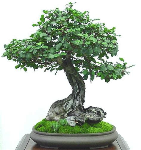 Instant Bonsai Just Remove Genes by Pin Abedul Arbol On