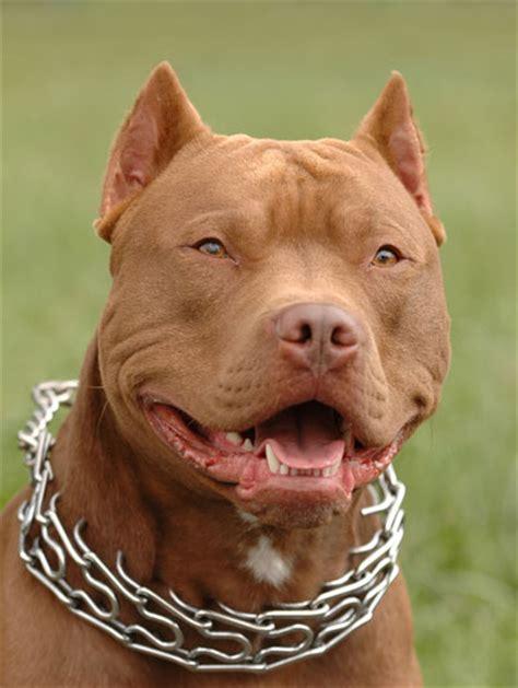 imagenes de hombres en boxer con pollas xxl pikiitoi 174 datos y consejos sobre la raza pitbull