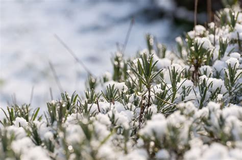 Garten Winterfest Machen Lavendel by Ist Lavendel Winterhart 187 So Bringen Sie Lavendel Durch