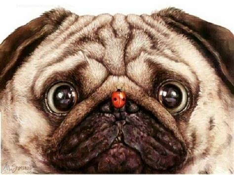 nose pug how lucky are you to find out dogs and so
