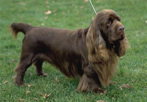 sussex spaniel puppies sussex spaniel puppies for sale akc puppyfinder