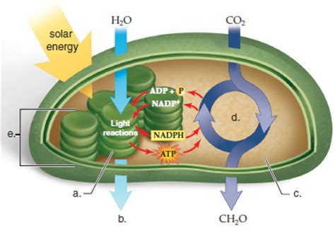 solved label the following diagram of a chloroplast f