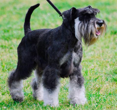 black and silver giant schnauzer puppies schnauzer miniatura perrosamigos com