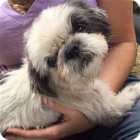 shih tzu rescue los angeles los angeles ca shih tzu mix meet rupert a for adoption