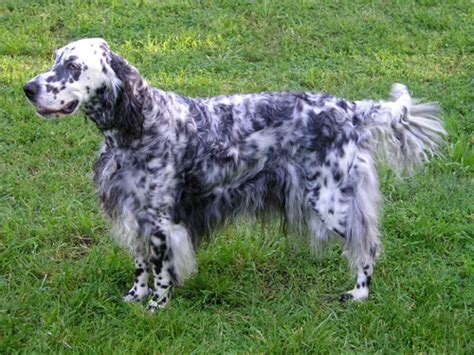 English Setter Dog Wiki | english setter wikipedia