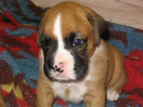 puppies for adoption in indiana boxer puppies 2 females akc registered for sale adoption from greenwood indiana