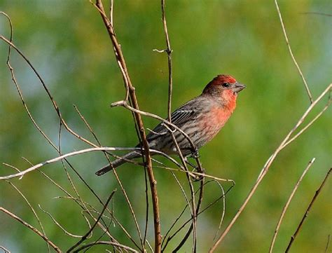house finch diet house finch diet 28 images house finch house finches diet lifestyledagor bird