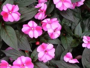 parks brothers farm wholesale plants bicolor impatiens