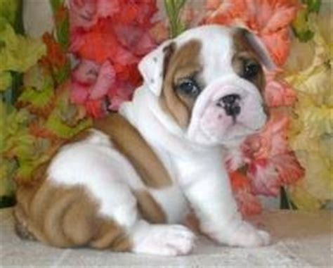 free puppies in nh dogs derry nh free classified ads