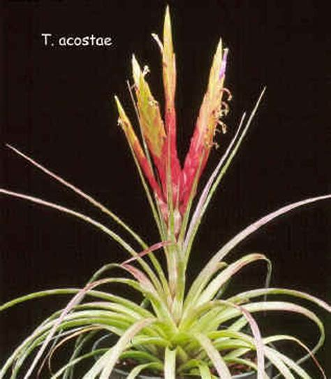 Tropical Plants Book - tillandsia acostae