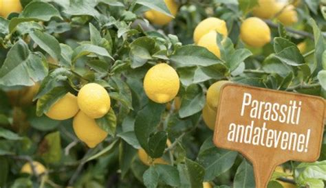 malattie della pianta di limone vaso parassiti delle piante di limone quali sono i pi 249 comuni