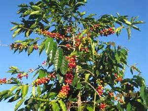 a coffee tree before the berries are picked   Photo