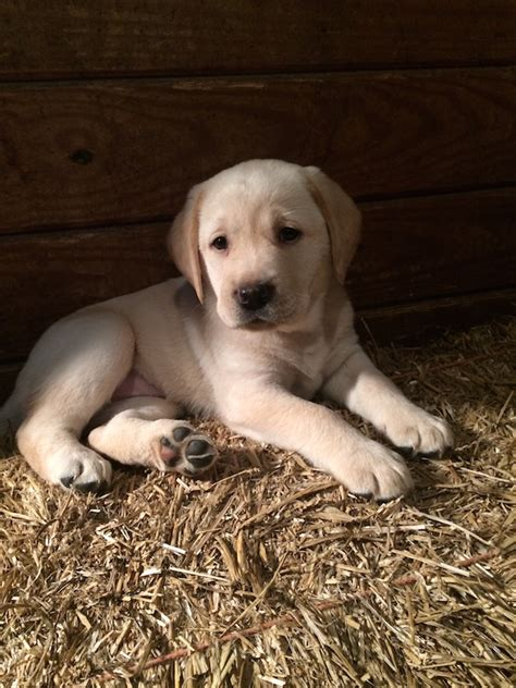 puppies maryland yellow labrador puppies for sale in maryland bred lab puppies