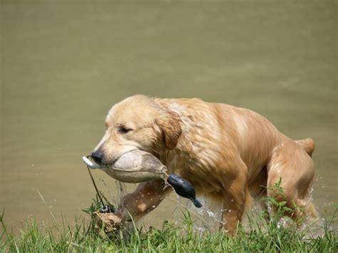 how to a to retrieve ducks how to a to retrieve duck hunt homesteading simple self