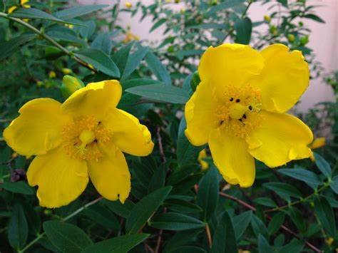 What Is This Bush With Bright Yellow Flowers Snaplant Com Yellow Garden Flower