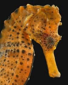 National Aquarium   Longsnout Seahorse