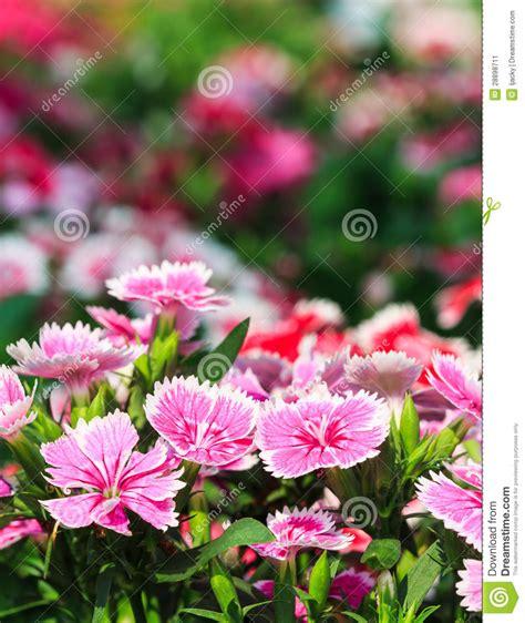 Beautiful Pink Flowers In The Garden Stock Image Image Pink Garden Flowers