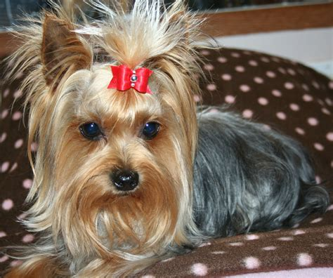do yorkies human hair hair yorkie haircuts photo