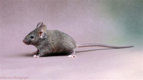 mouse house house mouse photo wp04073