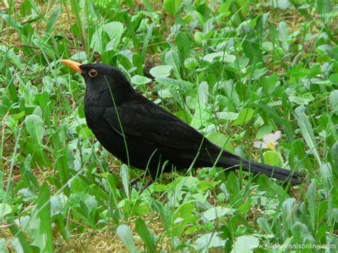 common blackbird turdus merula common blackbird