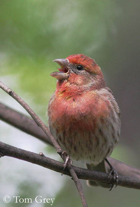 house finch calls house finch