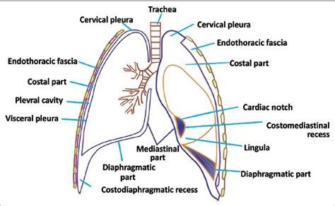 Cupula Definition The Pleura
