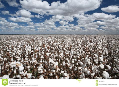 Cotton Fields Royalty Free Stock Images Image: 16709519