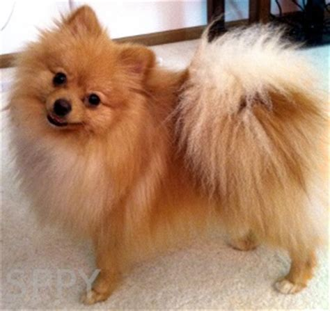 orange pomeranian strong s pups poms poodles yorkies