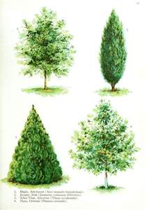 Type Of Trees by Gallery For Gt Types Of Trees With Pictures