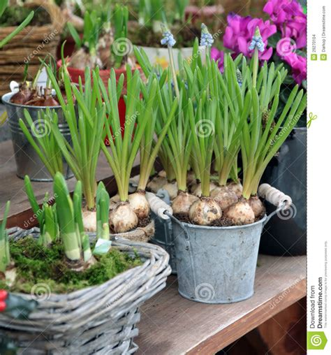 ornamental bulbs in to the pots stock images image 29270104