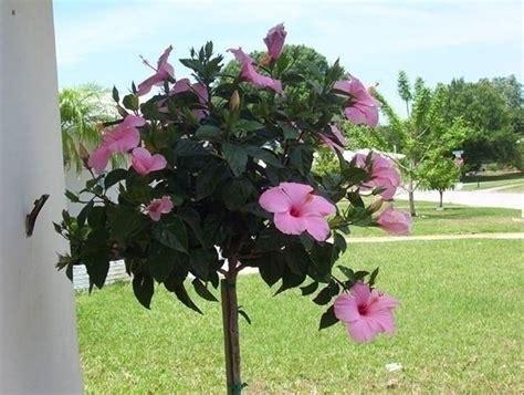 fiori hibiscus ibisco coltivazione hibiscus hibiscus piante da