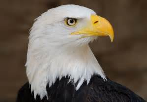 Still flying strong bald eagle spotted at monroe qmix