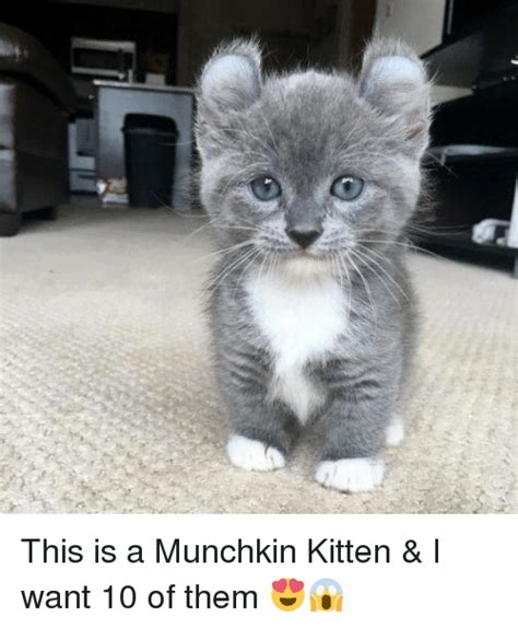 wants a kitten this is a munchkin kitten i want 10 of them dank meme on sizzle