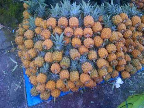 Buah Nanas Madu Belik Pemalang nanas madu jadi branding wisata pemalang potensi lokal