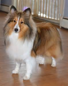 sheltie colors sheltie color is one we all and