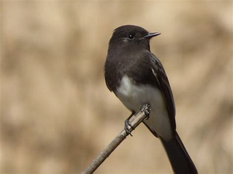 geotripper s california birds phoebes and phainopeplas on