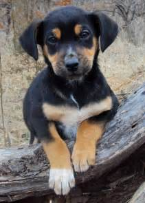 The adoptable coonhound mix puppies puppies daily puppy