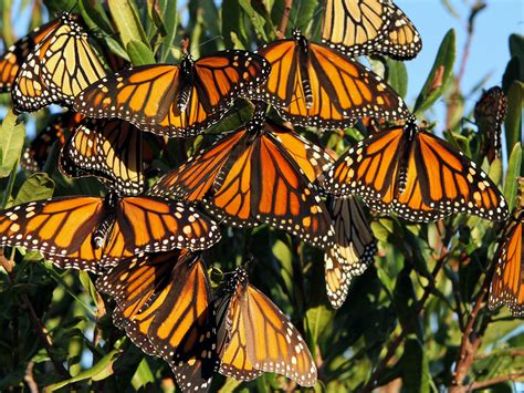 monarch butterfly as dwindling monarch butterflies make their migration