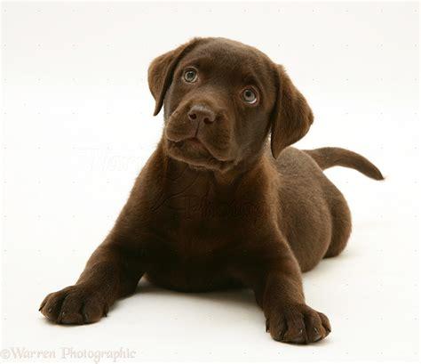 chocolate lab puppies colorado chocolate labrador retriever pup photo wp16819