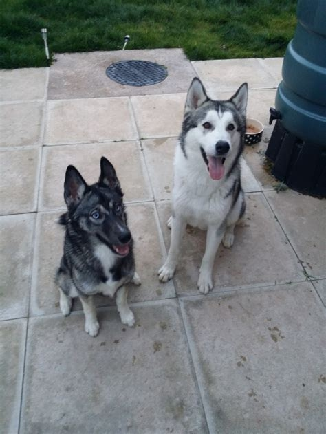 How Much Do Huskies Shed by Husky Shedding Help