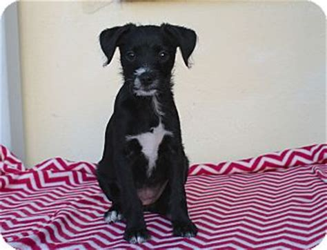 pug collie mix clea adopted puppy los angeles ca pug border collie mix