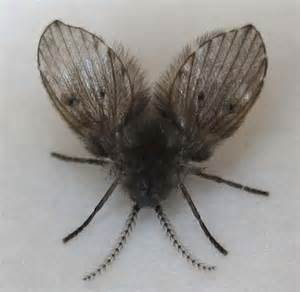 Small Flies In Bathroom Bathroom Flies Archives What S That Bug