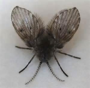 Fruit Flies In Bathroom Bathroom Flies Archives What S That Bug