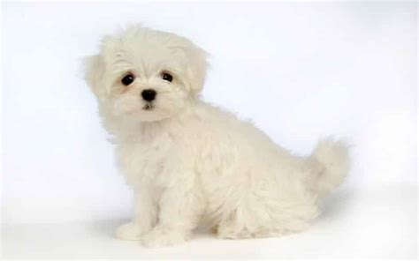 lifespan of maltese poodle maltese breed information facts pictures temperament