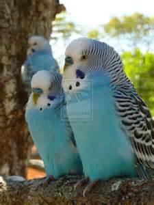parakeets parakeets pinterest