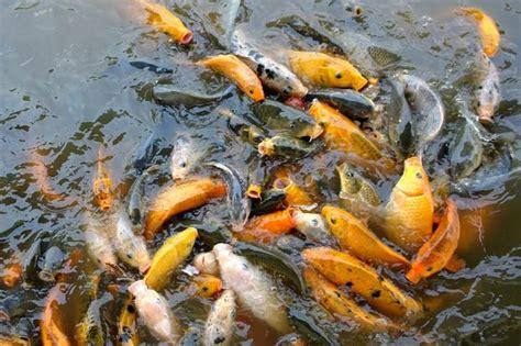 Makanan Ikan Hias Mudah ekogeo ikan untuk dikonsumsi dan ikan hias