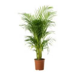 chrysalidocarpus lutescens plante en pot ikea