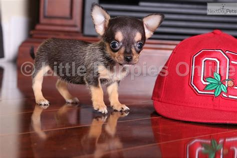 chihuahua puppies near me chihuahua puppy for sale near columbus ohio e262ec69 60a1