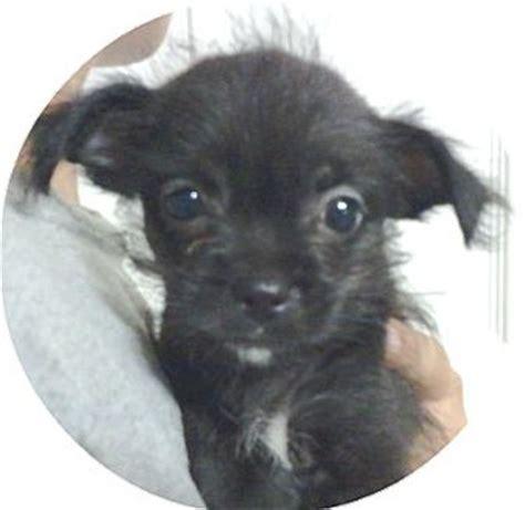 shih tzu rescue orlando ramos 4f adopted puppy ramos 4f orlando fl shih tzu chihuahua mix